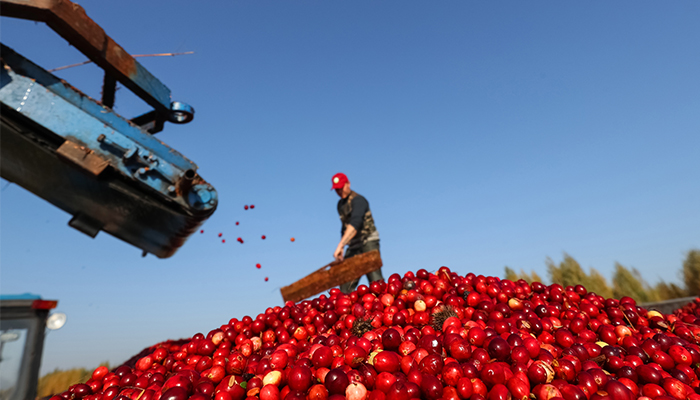 Un venit mai mare pentru cultivatorii de merisoare care asociaza recoltele cu panourile solare